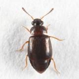 Rove Beetles - Subfamily Proteininae