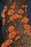 Panellus serotinus