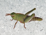 Northern Green-striped Grasshopper (on the snow) - Chortophaga viridifasciata