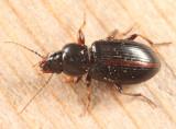 Bradycellus lugubris