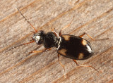 Four-Spotted Ground Beetle - Bembidion quadrimaculatum