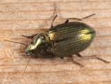 Ground Beetles - Tribe Zabrini