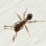 Solenopsis geminata (minor worker)