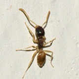 Ghost Ant - Tapinoma melanocephalum