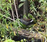 Common Gallinule - Gallinula galeata (immature)