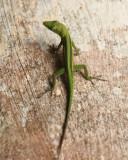 Hispaniolan Green Anole - Anolis cyanostictus
