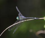 Micrathyria didyma (male)