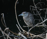 Yellow-crowned Night-Heron - Nyctanassa violacea (immature)