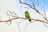 Hispaniolan Parrot - Amazona ventralis