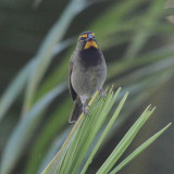 Yellow-faced Grassquit - Tiaris olivaceus