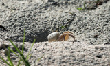 Ghost Crab - Ocypode sp.