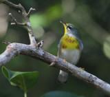 Northern Parula - Setophaga americana