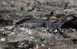 Puerto Rican Crested Anole - Anolis cristatellus cristatellus