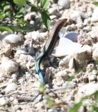 Hispaniolan Blue-tailed Ameiva - Ameiva taeniura