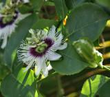 Passionfruit flower - Passiflora edulis