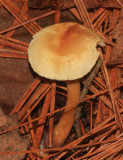 Collybia sp.