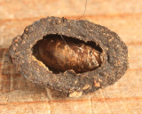 Epicypta sp. (pupal case)