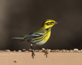Townsend's Warbler - Setophaga townsendi
