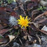 Dandelion - Taraxacum sp.