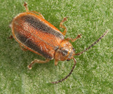 Black-margined Loosestrife Beetle - Neogalerucella calmariensis