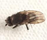 Rachispoda sp.