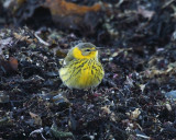Cape May Warbler - Setophaga tigrina