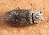Helophorus grandis