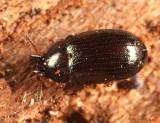 Neomida bicornis (male)