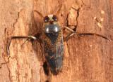 Notonecta irrorata