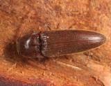 Melanotus similis