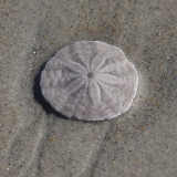 Common Sand Dollar - Echinarachnius parma