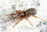 Phrurotimpus alarius