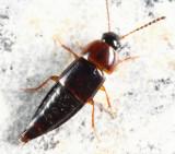 Tachinus corticinus