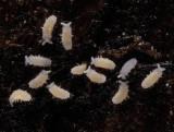 Poduromorpha - Barber's Springtail - Sensillanura barberi