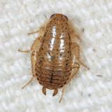 Spotted Mediterranean Cockroach - Ectobius pallidus