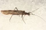 Taeniopteryx burksi