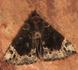 8445 - White-lined Bomolocha pupa - Hypena abalienalis