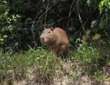 Guyana Mammals