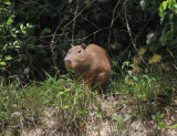 Capybara- Hydrochoerus hydrochaeris