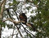 White-faced Saki Monkey -Pithecia pithecia (female)
