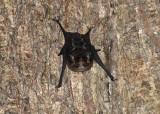 Greater Sac-winged Bat - Saccopteryx bilineata
