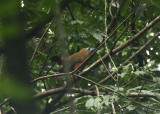 Capuchin Bird - Perissocephalus tricolor