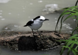 Pied Water Tyrant - Fluvicola pica