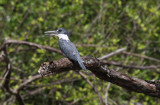 Ringed Kingfisher - Megaceryle torquata