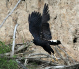 Great Black Hawk - Buteogallus urubitinga