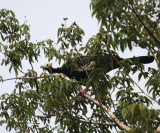 Blue-throated Piping Guan - Pipile cumanensis
