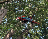 Red-and-green Macaw - Ara chloropterus