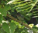 Guyanan Streaked Antwren - Myrmotherula surinamensis