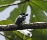 Pied Puffbird - Notharchus tectus