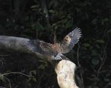Rufescent Tiger Heron - Tigrisoma lineatum